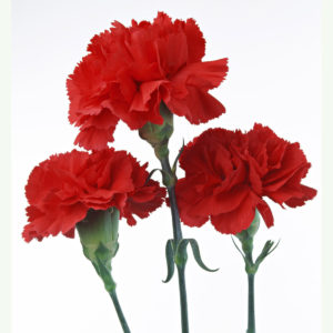 Carnation Scarlet Red