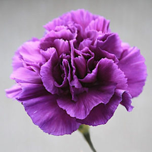 Carnation Violet