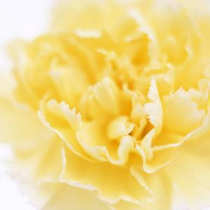 Carnation Yellow