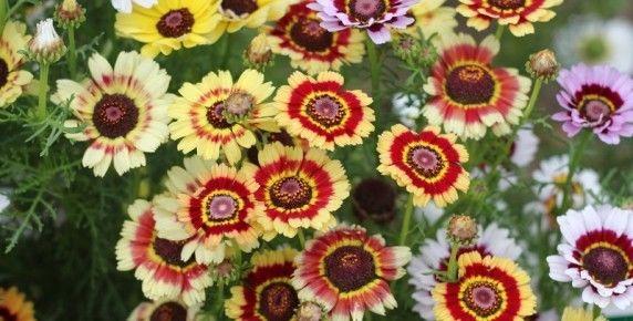 Chrysanthemum Carinatum Painted Daisy