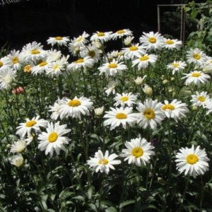 Chrysanthemum Maximum Shasta Daisy