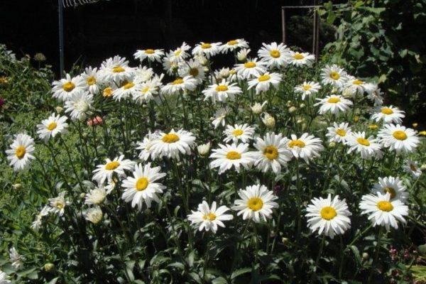 Chrysanthemum Maximum Shasta Daisy