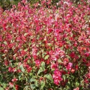 Clarkia Elegans Double Red