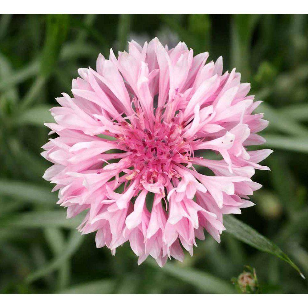 Cornflower Centaurea Cyanus Pink Flowers Premier Seeds