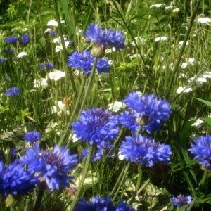Cornflower Centaurea Cyanus Blue Boy