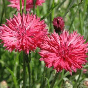 Cornflower Centaurea Cyanus Red Boy