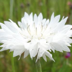 Cornflower Centaurea Cyanus White