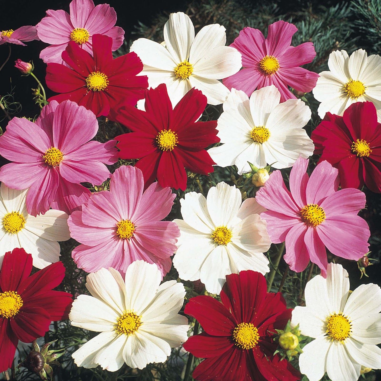 Космея сенсация цветы фото