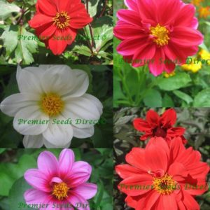 Dahlia Beauty Mix
