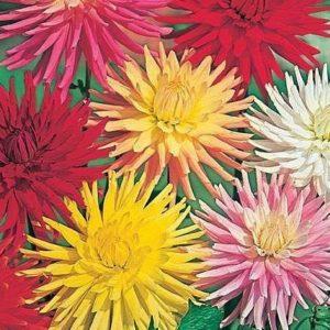 Dahlia Cactus Hybrids Mixed