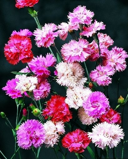 Dianthus Spring Beauty Mixed