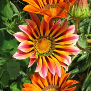 Gazania Sunshine Hybrid Mix
