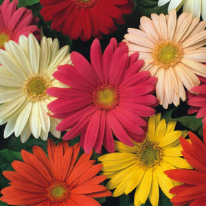 Gerbera Jamesonii Hybrids Mix