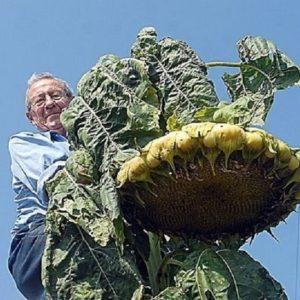 Giant Sunflower Mongolian Giant