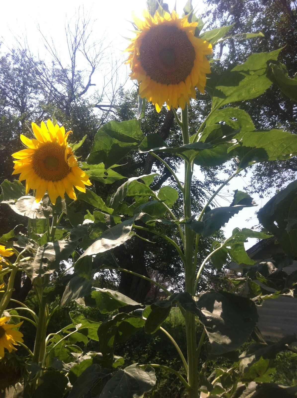Giant Sunflower Mongolian Giant Flowers Premier Seeds