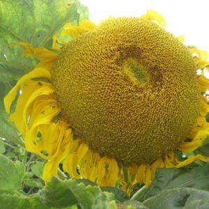 Giant Sunflower Titan