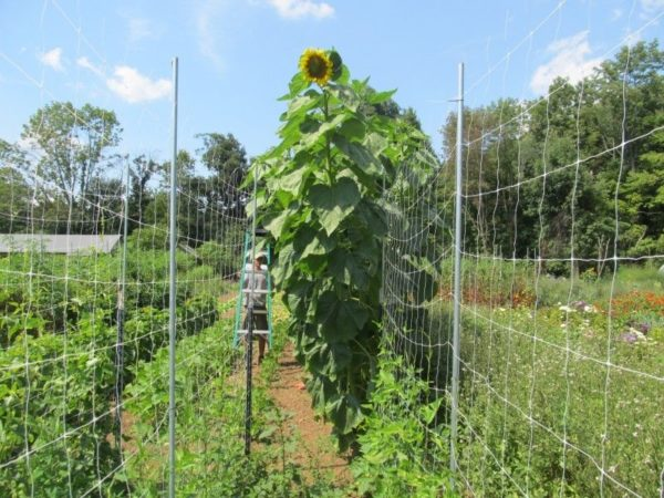 Giant Sunflower Skyscraper Organic