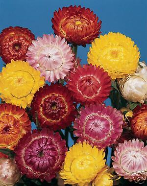 Helichrysum Straw Flower Tom Thumb Mix