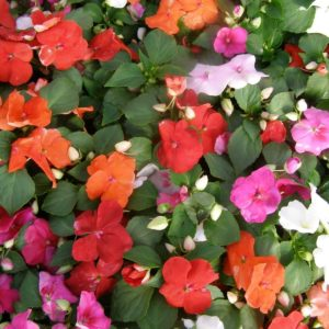 Impatiens Busy Lizzie Dwarf Mix