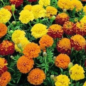 French Petite Mix Marigold Dwarf