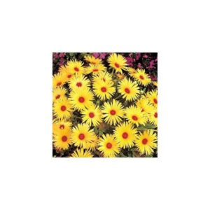 Mesembryanthemum Lunette