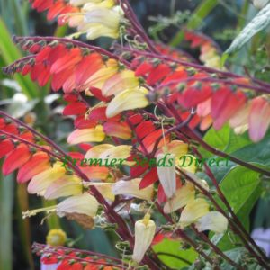 Mina Lobata Jungle Queen