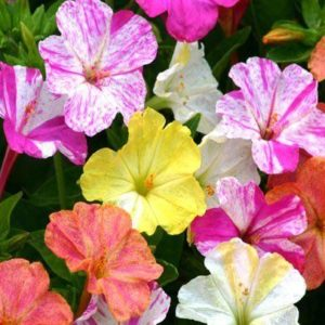 Mirabilis Marvel of Peru Four O'Clock Mix