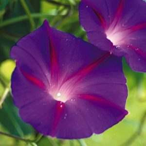 Morning Glory Ipomoea Black Knight