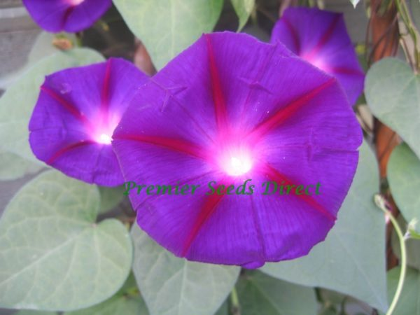 Morning Glory Ipomoea Grandpa Otts