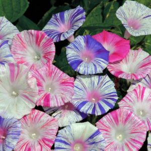 Morning Glory Ipomoea Purpurea Carnevale Di Venezia