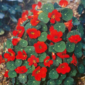 Nasturtium Empress of India Tropaeolum