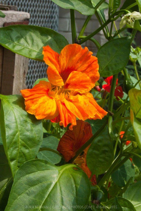 Nasturtium Tropaeolum Whirlybird Tangerine