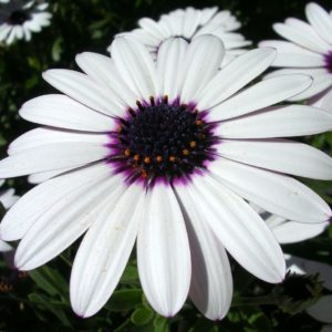 Osteospermum Ecklonis Sky And Ice