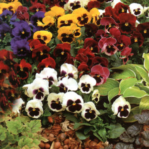 Pansy Giant Swiss Mixed