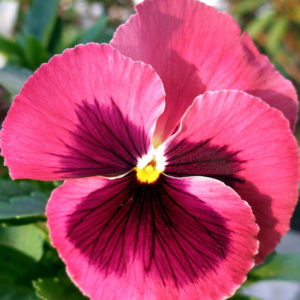 Pansy Pink