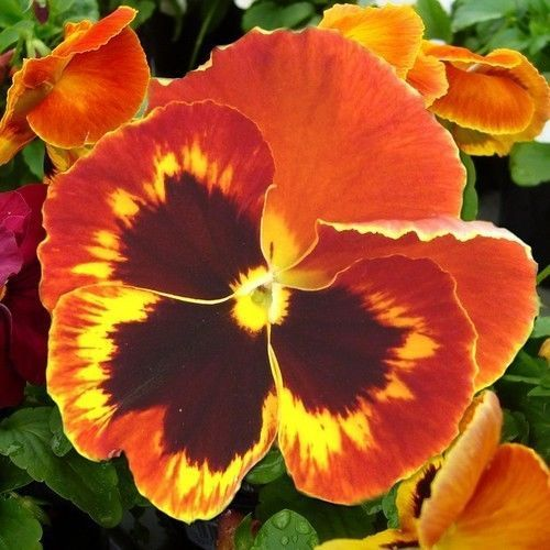 Pansy Swiss Giant Flame