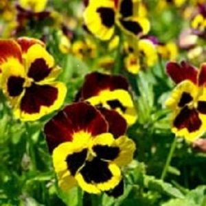 Pansy Swiss Giant Red Wing