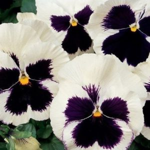 Pansy Swiss Giant Silverbride