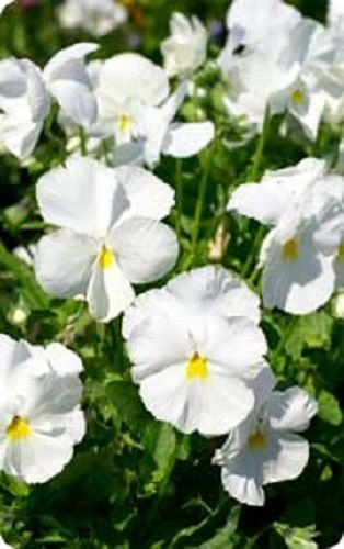 Pansy Swiss Giant White Lady Pure White