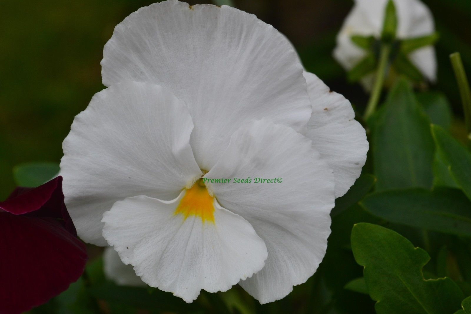 pansy white flowers premier seeds direct ltd