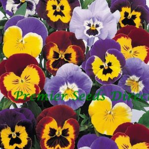 Pansy (Winter Hardy) Jolly Joker F2 Mixed