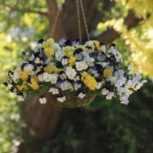 Pansy Trailing Winter Flowering Cool Wave Mixed