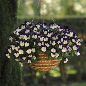Pansy Trailing Winter Flowering Cool Wave Violet Wing