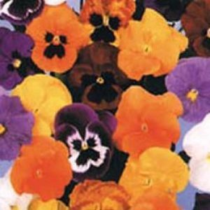 Forerunner Mix Pansy Winter Flowering
