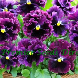 Pansy Winter Flowering Frizzle Sizzle F1 Burgundy