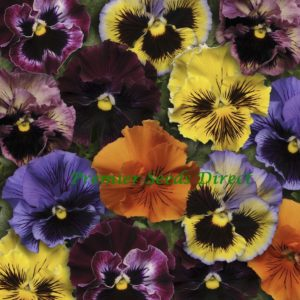 Pansy Winter Flowering Frizzle Sizzle F1 Mixed