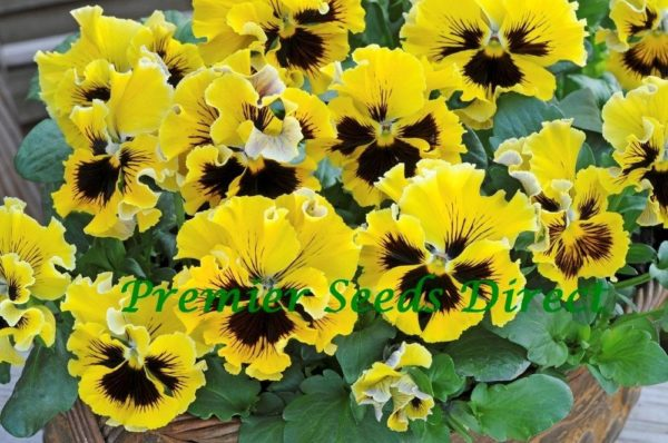 Pansy Winter Flowering Frizzle Sizzle F1 Yellow