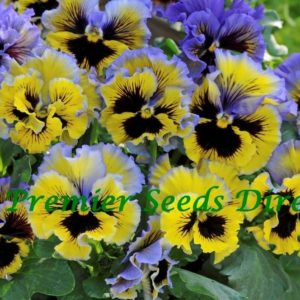 Pansy Winter Flowering Frizzle Sizzle F1 Yellow Blue Swirl