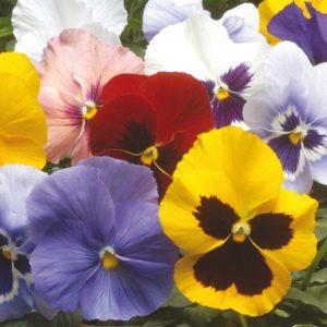 Pansy Winter Flowering Hiemalis Mixed