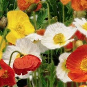 Papaver Poppy Nudicaule Iceland Mix